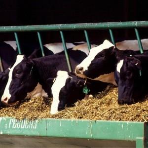 Cows1 (597 x 600)